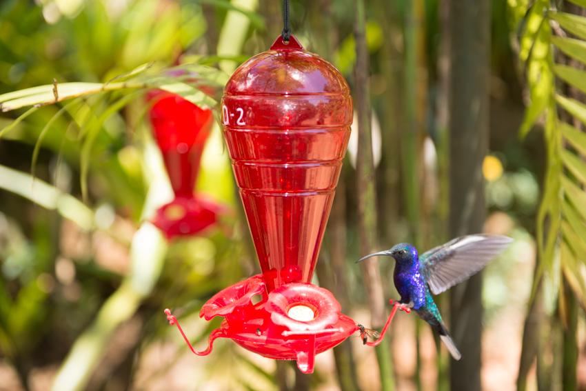 Purple Hummingbird