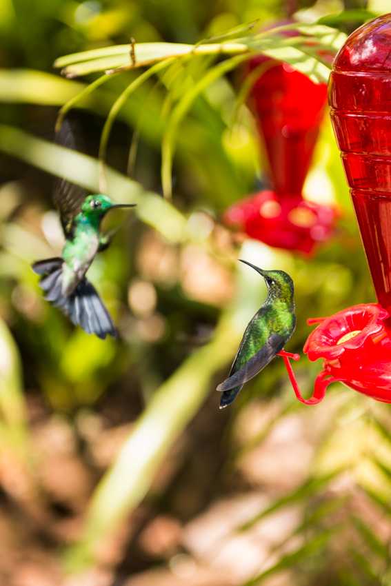 Final version of Hummingbirds Picture